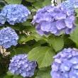 紫陽花 満開