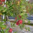紅葉の写真とリンゴの写真