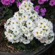 プリムラ・マラコイデス Primula Malacoides