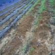 ポップコーンやっと出穂 ソラマメ収穫後の整理続き
