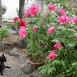 牡丹と藤が開花