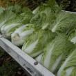 冬支度、まずは白菜の収穫だ!