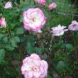 庭の中央で咲います。 バラのニコール