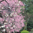 雨の梅林:岡山後楽園 3月8日