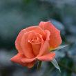 福岡植物園のバラ園にて13・・・【いな】