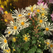 高幡不動尊…菊の花