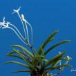 過去開花の富貴蘭「金星」の花