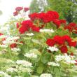 赤い薔薇と白い花。