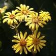 fotolia「ダールベルグデージー」 庭の花です☆