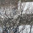 1/16 早くも梅が咲きました