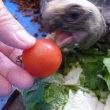アルダ君にミニトマト