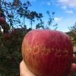 今月のりんご(2017年11月)収穫第二弾