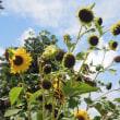 マッキーの『四季を楽しむ』:9月の自宅周辺公園の風景