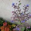 茄子の花に似たルリジサ