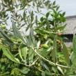 庭のオリーブの木、実を付けました