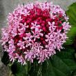 牡丹臭木(ぼたんくさぎ)という花