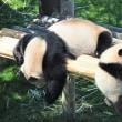 今も続く上野のパンダ人気
