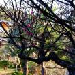 『春の便り』 紅梅