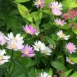 今朝の庭から 山の紫陽花他