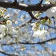 大島桜。。。。。