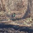 今年もエストレリータのベランダの向こうで雉とキツネが巣作りを~