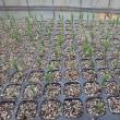 飛び込み栽培の種が発芽揃い