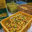 梅農家は梅干し用「梅」の収穫で大わらわ