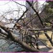 水ぬるむ桜の名所