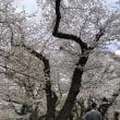霞城公園の桜 2018