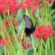 秋の到来 彼岸花とアゲハ蝶