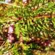カルーナ・ヴルガリス Calluna vulgaris