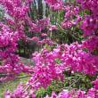 マメ科の樹木であるハナズオウが満開