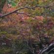 秋色求めて散歩。(夏椿、サラサドウダン、木苺、蔦他)