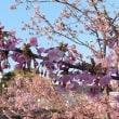 西郷川河口公園 河津桜 '18