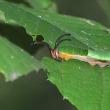 スミナガシ幼虫の食事