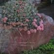 古九谷の杜近くを花や実を眺めながら散歩しました。(菊、サネカズラ、?ヤブコウジ、ミセバヤ)