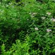 ヨツバヒヨドリ 山裾の草地