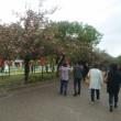 大阪造幣局桜の通り抜け最終日  ほぼ葉桜