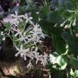 ホワイトバタフライ(Clerodendrum calamitosum )