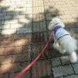 カラッとした暑さで…老犬ラスさん少しお散歩 o(*^▽^*)o~♪