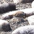 コチドリの抱卵