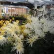 ハボタン オドリの盆栽