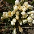春の先発の花・見つけました