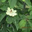 朴(ほう)の花