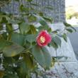 ワビスケ:今時咲く花