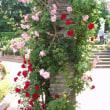 薔薇の写真続き。