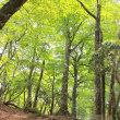 若葉のブナ林~歩く