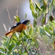 11/21探鳥記録写真(はまゆう公園の鳥たち:ジョウビタキ♂、メジロ、カワラヒワ)
