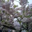 造幣局桜の通り抜け2018〜その1〜