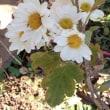 3種類の菊の花が咲きました・・・。